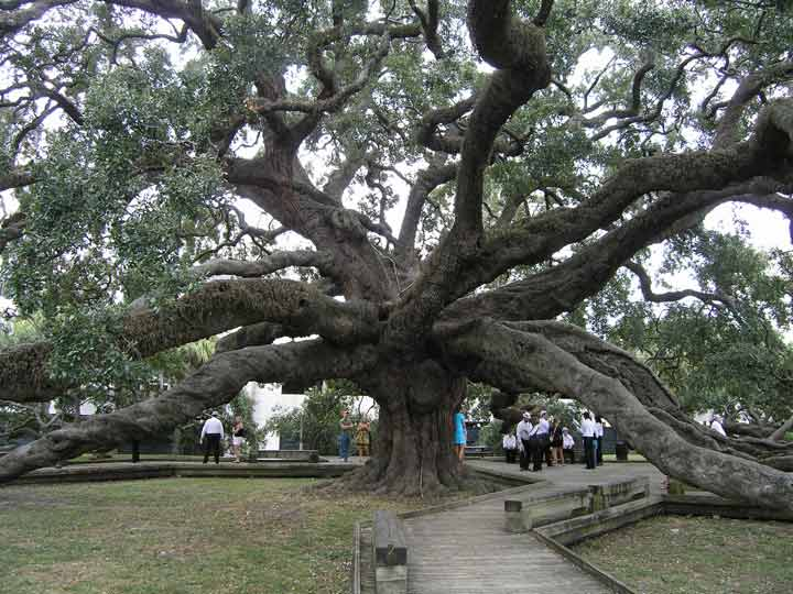 The Treaty Oak